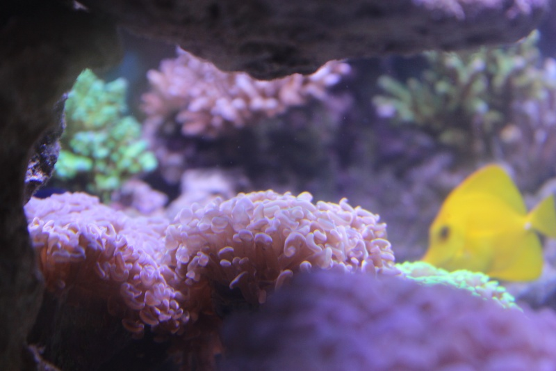 Le nouveau Reef d'Alexpilon, 600l custom - Page 4 Img_6325