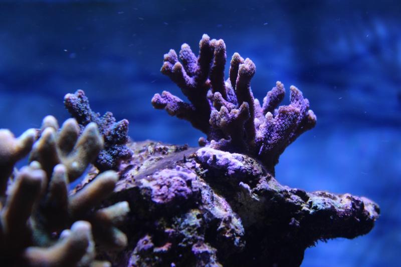 Le nouveau Reef d'Alexpilon, 600l custom - Page 5 Img_6716