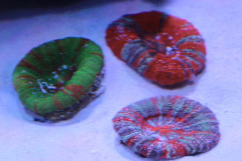 Le nouveau Reef d'Alexpilon, 600l custom - Page 5 Img_6722
