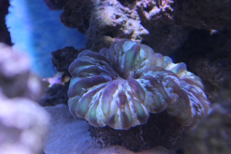 Le nouveau Reef d'Alexpilon, 600l custom - Page 5 Img_6727