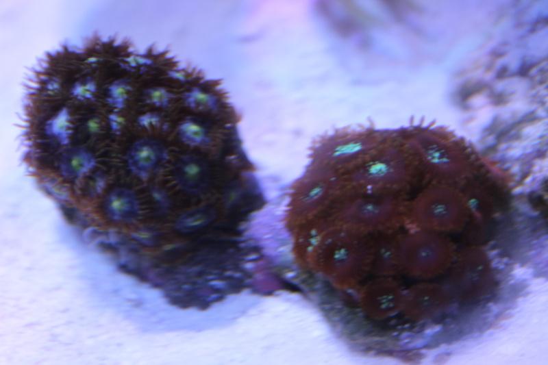 Le nouveau Reef d'Alexpilon, 600l custom - Page 5 Img_6730