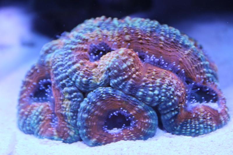 Le nouveau Reef d'Alexpilon, 600l custom - Page 6 Img_6819