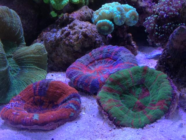 Le nouveau Reef d'Alexpilon, 600l custom - Page 3 Photo_14