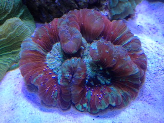 Le nouveau Reef d'Alexpilon, 600l custom - Page 6 Trachy10