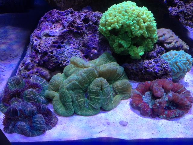 Le nouveau Reef d'Alexpilon, 600l custom - Page 6 Trachy11