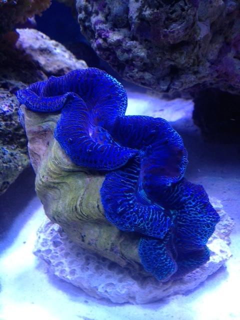 Le nouveau Reef d'Alexpilon, 600l custom - Page 6 Tridac10