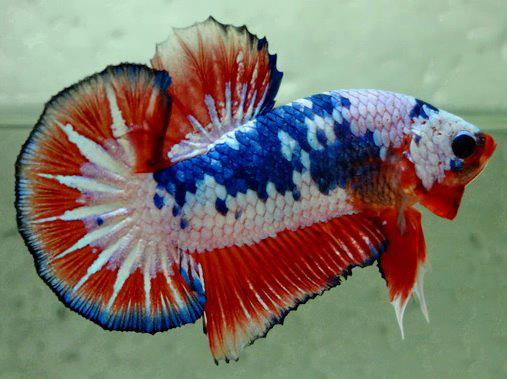 Plakat HM Fancy  - Page 3 Betta-10