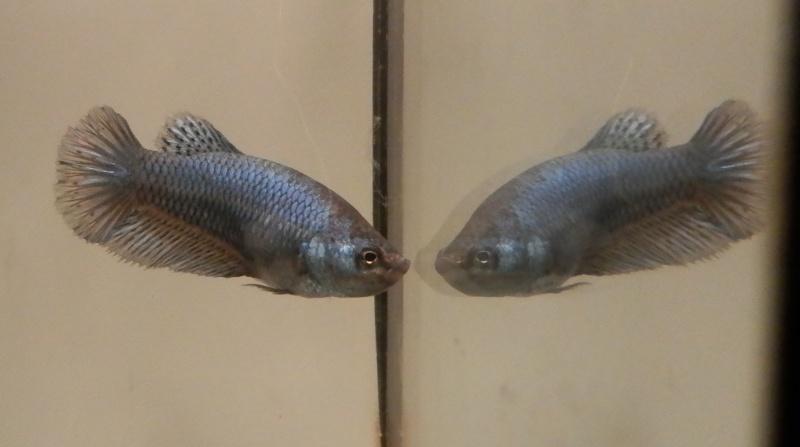 Male marbré + femelle marbré  - Page 3 Femell16