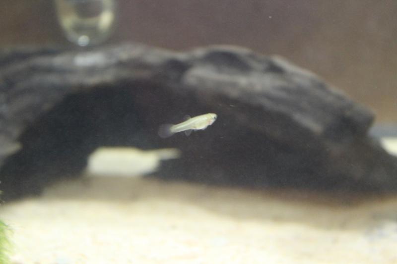 Mystery Fish: Baby Guppy? Img_1410