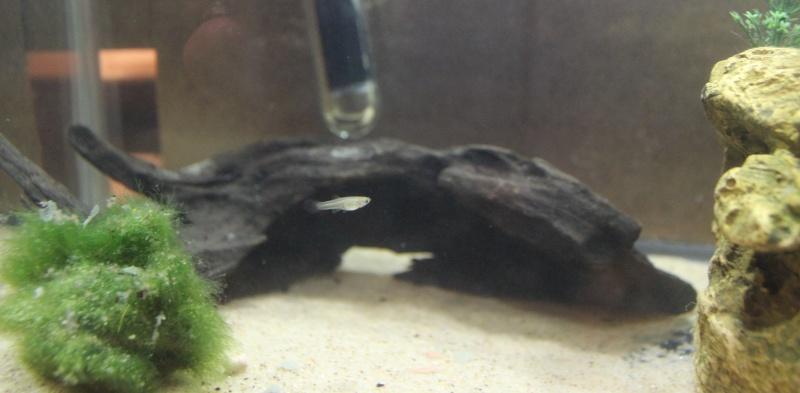Mystery Fish: Baby Guppy? Img_1412