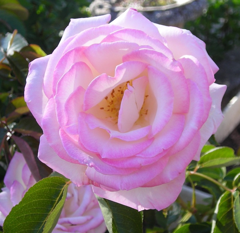 Quelles roses avez-vous et quelles sont vos préférées ? Dscn3219