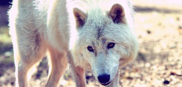 Kistara Valor Wolf_j11