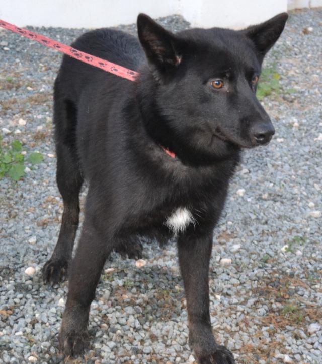KRISTOFF, magnifique chien, robe noire, 1 an Kristo10