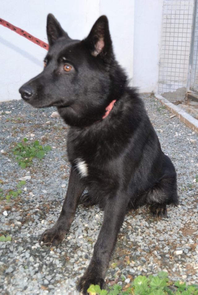KRISTOFF, magnifique chien, robe noire, 1 an Kristo15