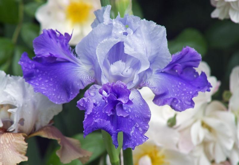 Iris a eperons  Libell10