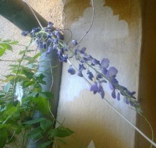 Wisteria Sinensis (Glycine de Chine) Florai11