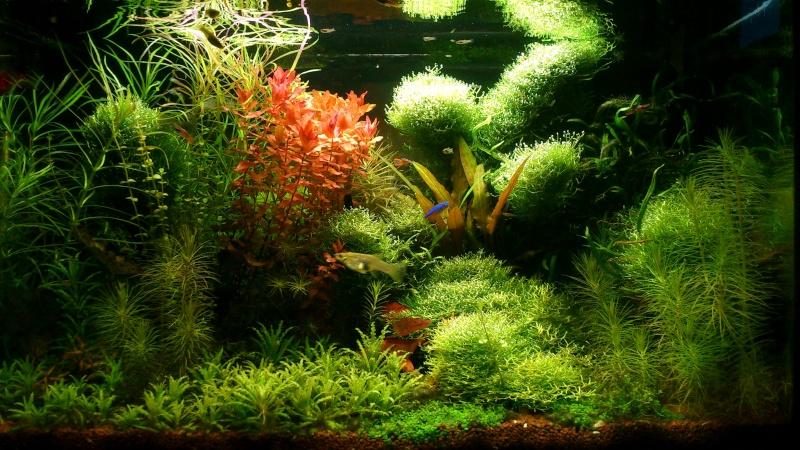 aquarium 54litres planté - Page 5 01810