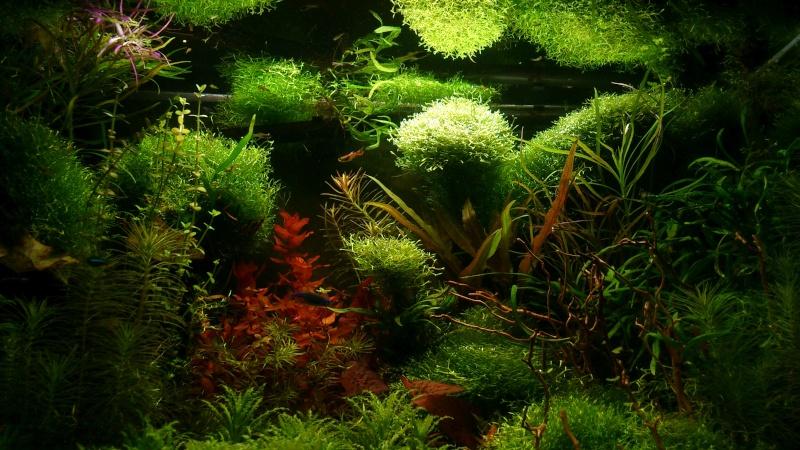 aquarium 54litres planté - Page 5 06810