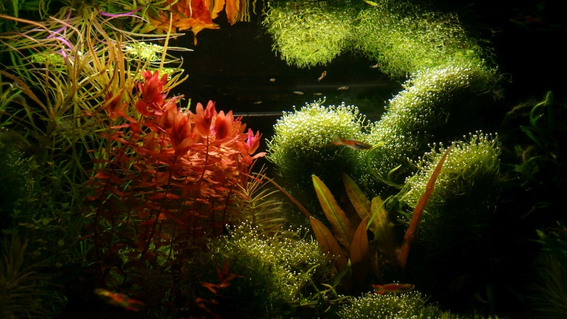 aquarium 54litres planté - Page 5 07410