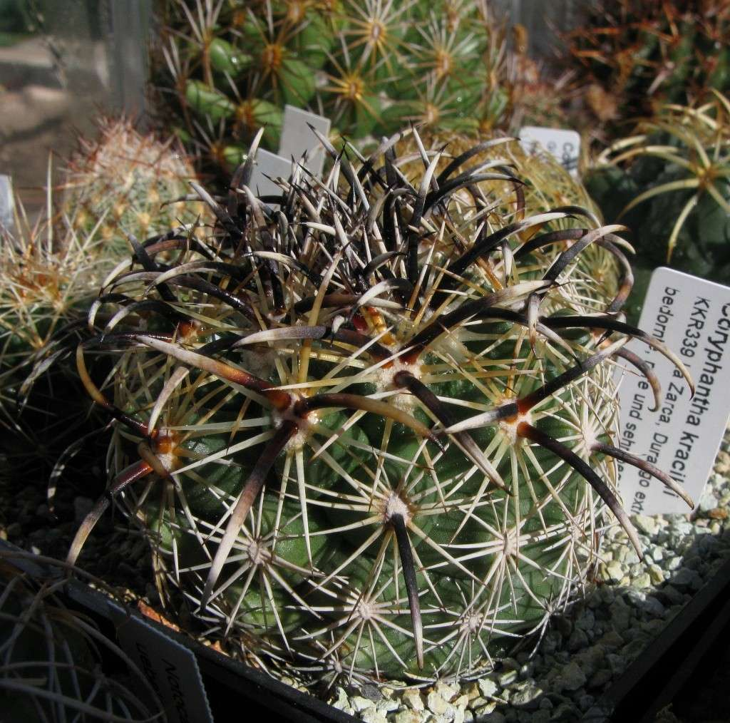 Coryphantha kracikii Coryph15