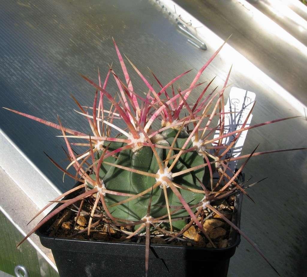 Echinocactus polycephalus ssp. xeranthemoides Echino30