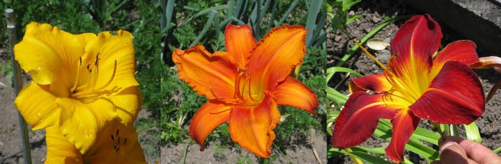 Hemerocallis - Taglilien - Schönheiten im Juni und Juli - Seite 5 Groayb10