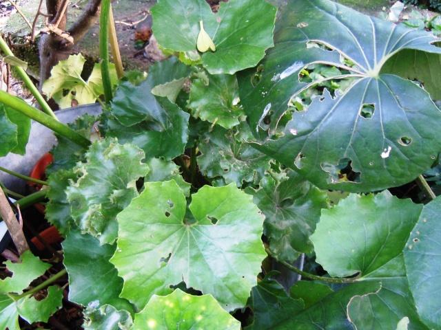 Farfugium japonicum (= Ligularia kaempferi) - Page 3 310