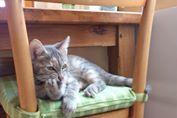 Dinah  - chaton  tigré gris (Reservé) 10589110