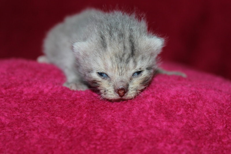 Dinah  - chaton  tigré gris (Reservé) Img_5510