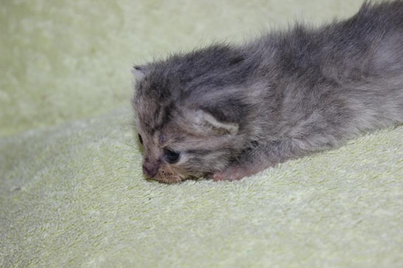 Dinah  - chaton  tigré gris (Reservé) Img_5910
