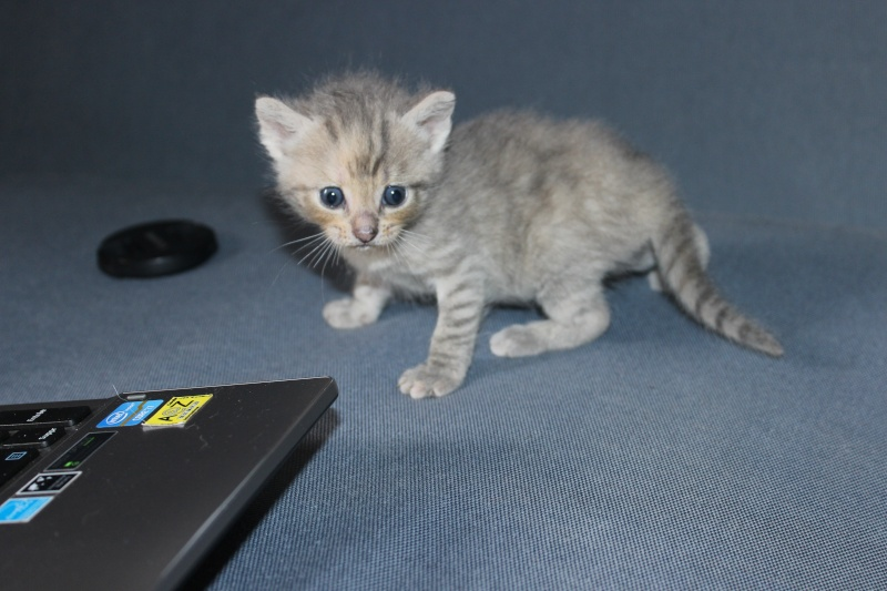 Dinah  - chaton  tigré gris (Reservé) Img_6510