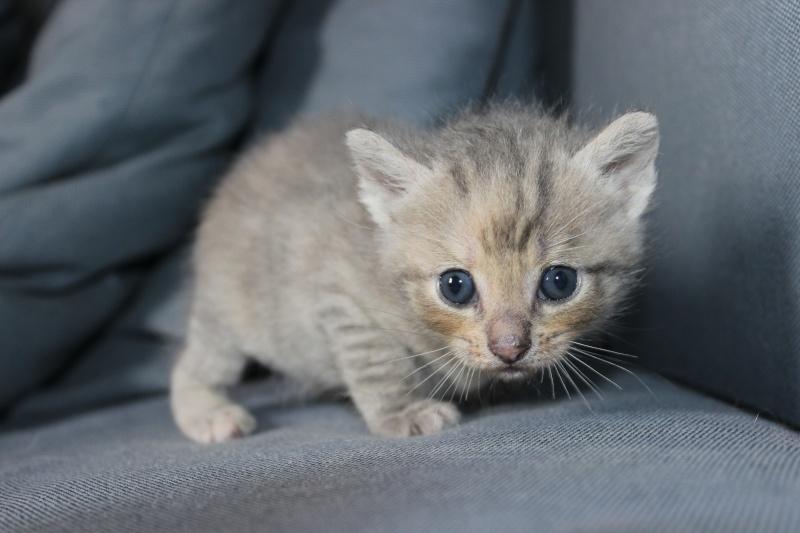 Dinah  - chaton  tigré gris (Reservé) Img_6511