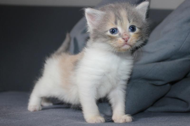 Lilo - Adorable chatonne Trico - Réservée Img_6516