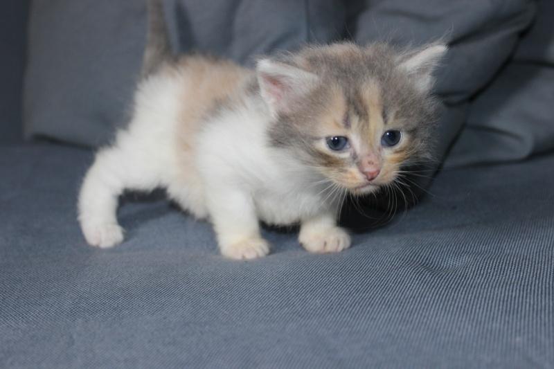Lilo - Adorable chatonne Trico - Réservée Img_6517
