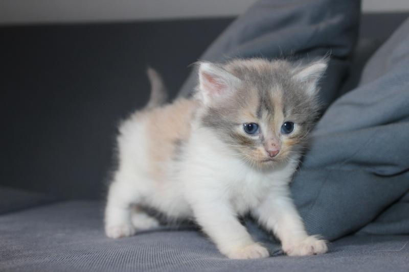 Lilo - Adorable chatonne Trico - Réservée Img_6519