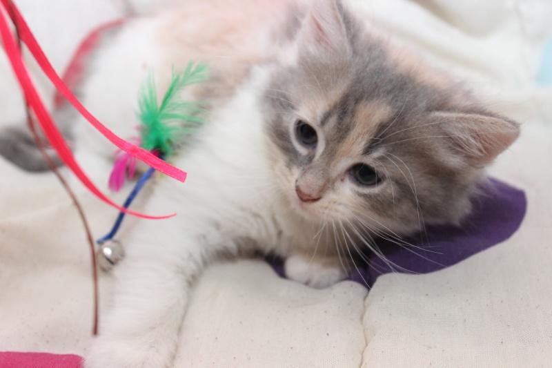 Lilo - Adorable chatonne Trico - Réservée Img_7710