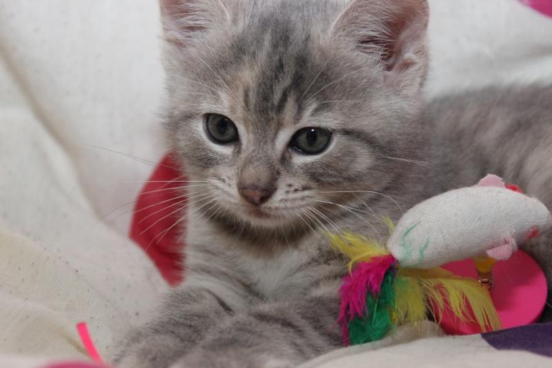 Dinah  - chaton  tigré gris (Reservé) Img_7713