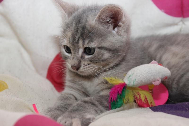 Dinah  - chaton  tigré gris (Reservé) Img_7715