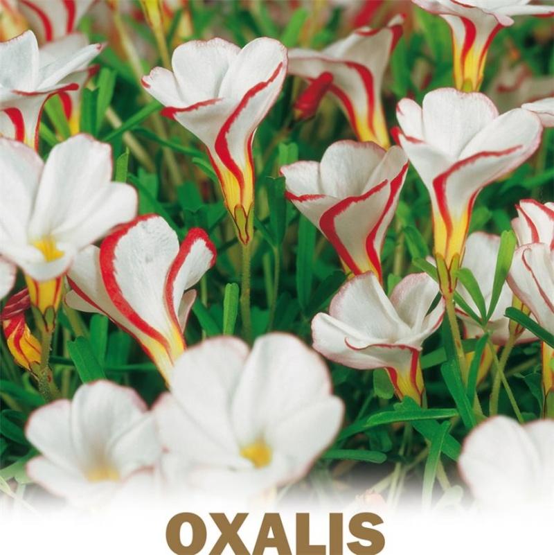 Pachypodium succulentum I-gran10