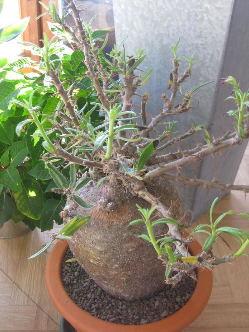 Pachypodium succulentum Img_1718