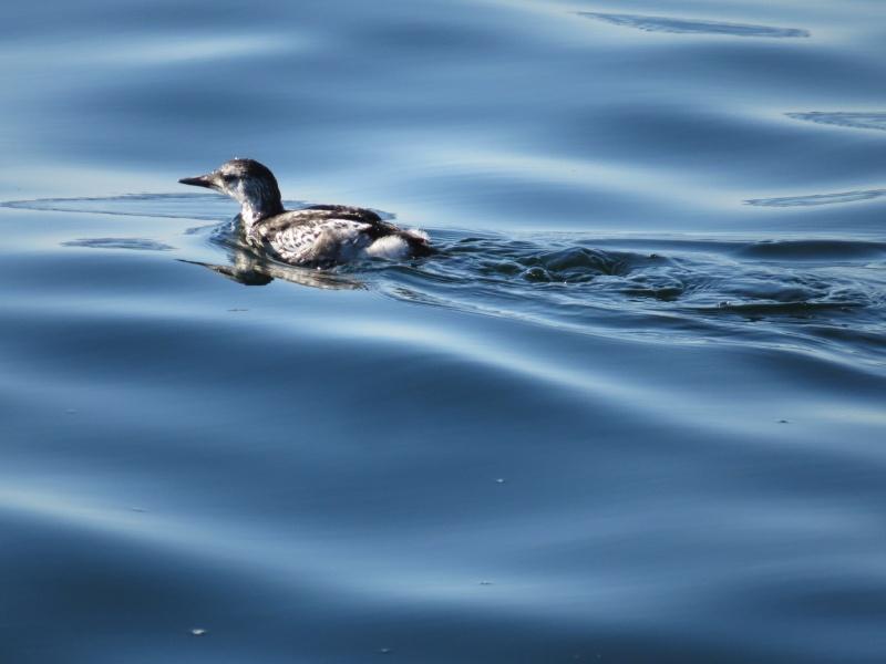 C'est un plongeur   je l'ai pris sur le quai a Percé  je trouve pas a l'identifié     Img_0115