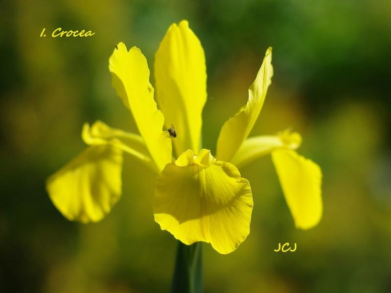 Spurias botaniques Iris_c11