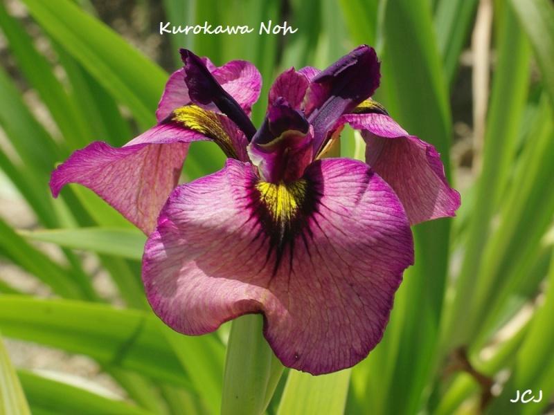 Iris PSEUDATAS Kuroka10