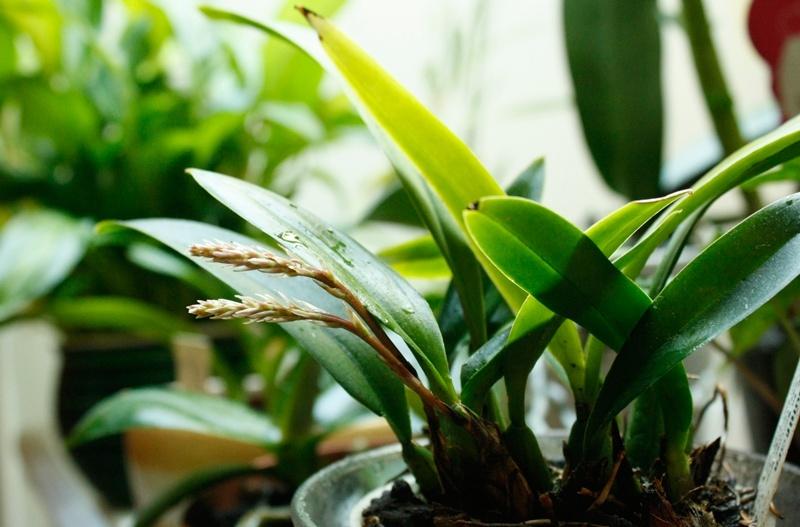 Macradenia multiflora 2014_016