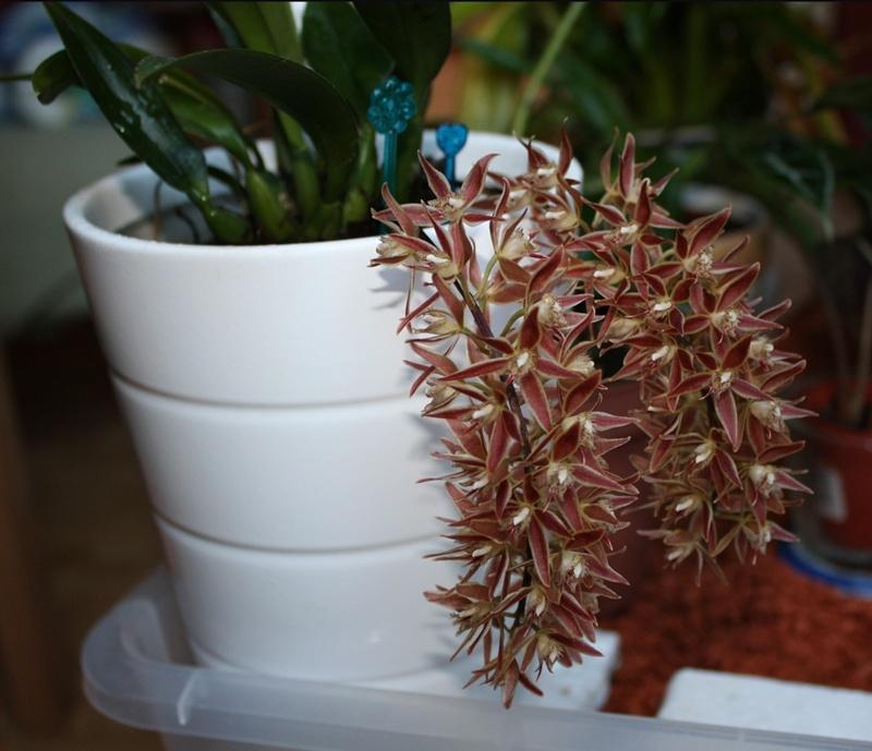 Macradenia multiflora 2014_112