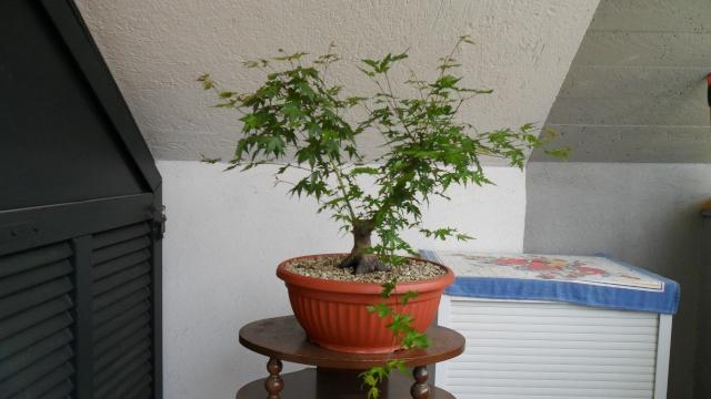 Acero palmato verde da costruire Sam_1610