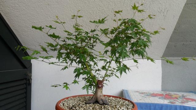 Acero palmato verde da costruire Sam_1611