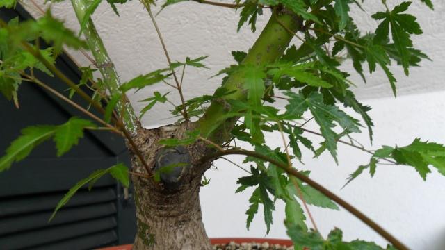 Acero palmato verde da costruire Sam_1612