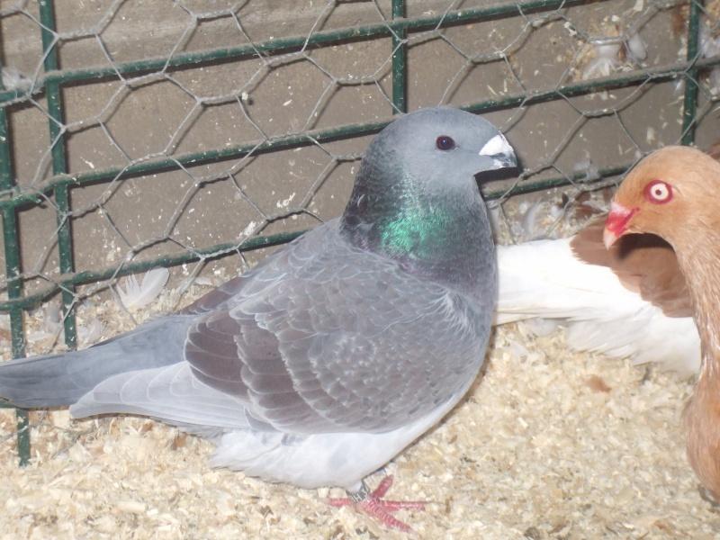 mes pigeons Dscf2315