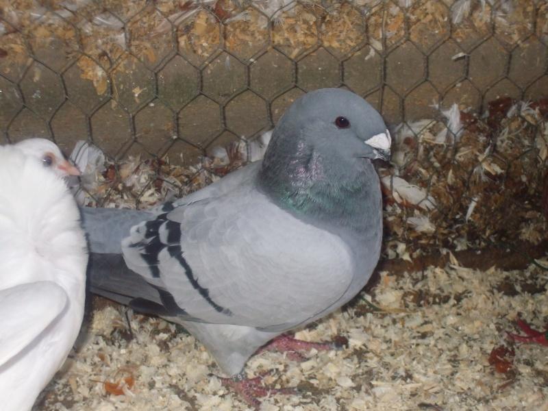mes pigeons Dscf2316